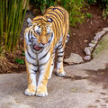 Amur tiger close up of panthera tigris altaica Royalty Free Stock Images