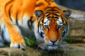 Amur tiger crouched down to take a drink Royalty Free Stock Photo