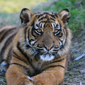 Amur tiger cub sitting patiently watching his brother play Stock Photography
