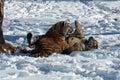 Amur Tiger cubs playing Royalty Free Stock Photo