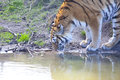 Amur tiger drinking water panthera tigris altaica Royalty Free Stock Images
