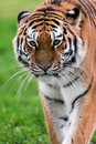 Amur tiger female walking toward viewer Stock Images