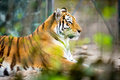 Amur tiger panthera tigris altaica Stock Images