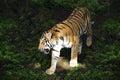 Amur tiger panthera tigris altaica Royalty Free Stock Photos