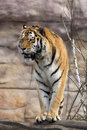 Amur tiger panthera tigris altaica closely monitors nearby one Royalty Free Stock Image