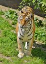 Amur tiger panthera tigris altaica predatory mammal of the felidae family the largest of the subspecies of Royalty Free Stock Images