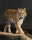 Amur tiger prowling female panthera tigris altaica Royalty Free Stock Image
