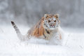 Amur tiger running in the snow. Tiger in wild winter nature. Action wildlife scene with danger animal. Cold winter in tajga, Russi Royalty Free Stock Photo