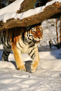 Amur tiger on the snow Stock Photo