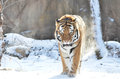Amur tiger in snow a male walks the Stock Images