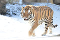 Amur tiger in snow a male walks the Stock Photos