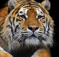 Amur tiger in the summer Stock Image