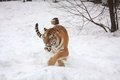 Amur tiger walking in snow Royalty Free Stock Images