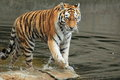 Amur tiger in water Royalty Free Stock Photo