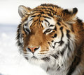 Amur-Tigerportrait Stockbilder