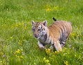 Amur (Siberian) tiger kitten playing and running in yellow and g Royalty Free Stock Photo