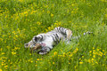 Amur (Siberian) tiger kitten playing in yellow and green flowers Royalty Free Stock Photo