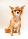 Amusing chihuahua dog sitting on neutral background Royalty Free Stock Images