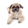 The amusing doggie of breed of a shih tzu small Stock Images