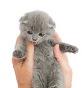 Amusing kitten in human palms isolated on white background Royalty Free Stock Images