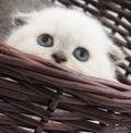 Amusing kitten in a wicker basket Stock Image