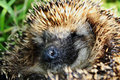Amusing muzzle of a hedgehog Royalty Free Stock Photo