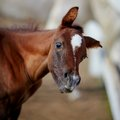Amusing portrait of a foal. Royalty Free Stock Photo