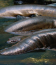 Anaconda snake Royalty Free Stock Photo