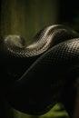 Anaconda Royalty Free Stock Photo