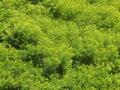 Anadenanthera magestic tree on brazil s summer Stock Photos