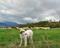 Anatolian sheepdog shepherd dog at work Stock Image