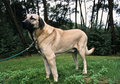 Anatolian shepherd Stock Photo