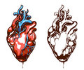 Anatomical heart Stock Photography