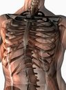 Anatomical human thorax Royalty Free Stock Photo