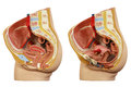 Anatomical model female pelvis