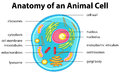 Anatomy of animal cell with words Royalty Free Stock Photo
