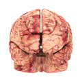 Anatomy brain front view isolated on white Stock Photos