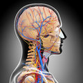 Anatomy of circulatory system of brain d art illustration Royalty Free Stock Photography