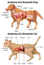 Anatomy of domestic dog and cat