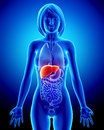 Anatomy of female liver in blue x-ray Royalty Free Stock Photo