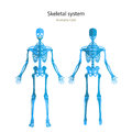 Anatomy guide of human skeleton. Anatomy didactic board of human bony system. Front and rear view. Royalty Free Stock Photo