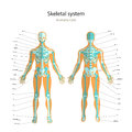 Anatomy guide of human skeleton with explanations. Anatomy didactic board of human bony system. Front and rear view. Royalty Free Stock Photo