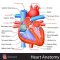 Anatomy of heart easy to edit vector illustration Stock Images