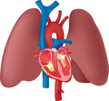Anatomy of the Heart and Lungs Royalty Free Stock Photo
