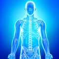 Anatomy Of Human Body In Blue ...