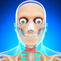 Anatomy of human head skeleton in blue Stock Photography