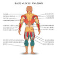 Anatomy of human muscles in the back, a template for medical tutorial, banner, vector illustration.