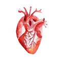 Anatomy human organ heart illustration. Hand drawn watercolor on white background.
