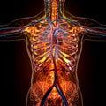 Anatomy Of Human Organs In X-r...