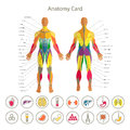 Anatomy of male muscular system. Front and rear view. Medical human organs icon set. Royalty Free Stock Photo